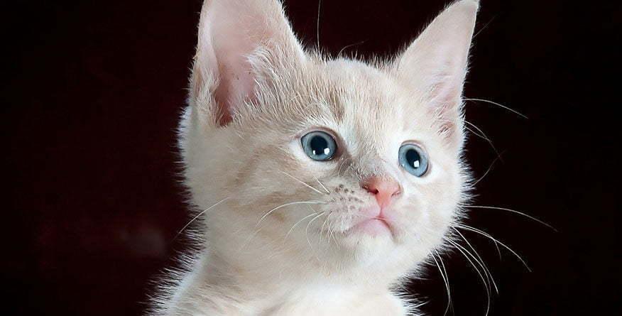 Albino macka