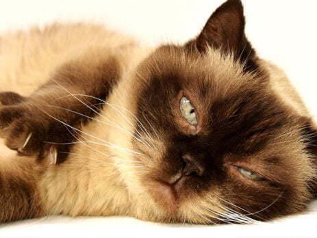 braon mačka