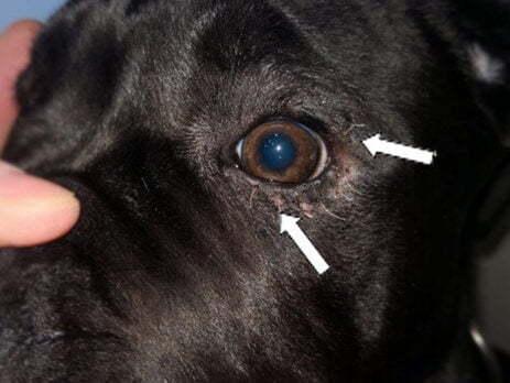 glaukom kod pasa