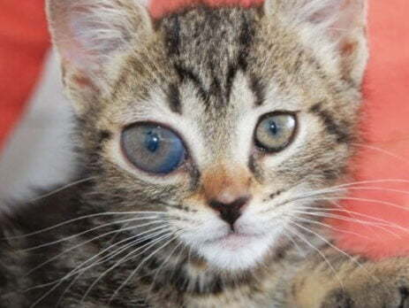 Chronic glaucoma in cats