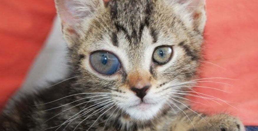 Hronični glaukom kod mačaka