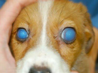 kongenitalni glaukom kod pasa