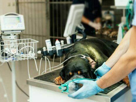 priprema psa za operaciju