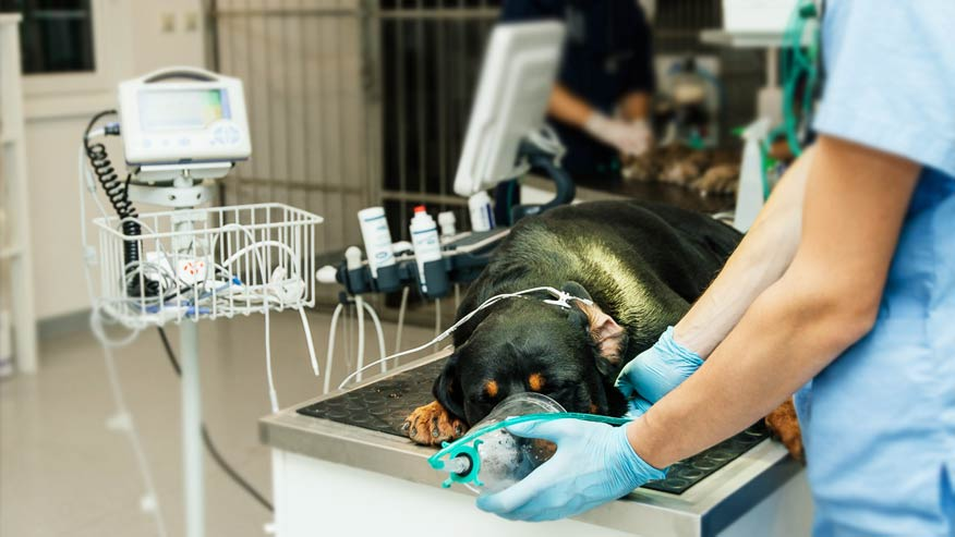 preparing the dog for surgery