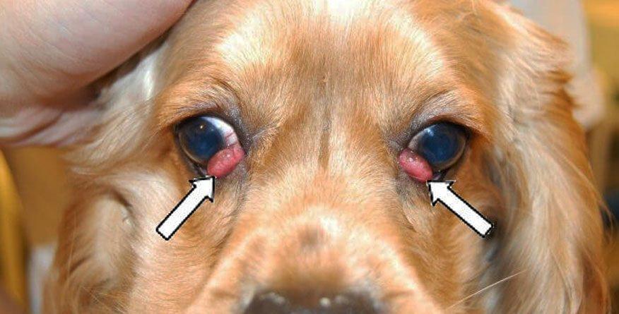 prolapsus očnog kapka kod psa