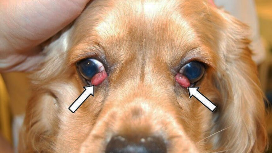 Prolapse of the gland of the third eyelid in dogs