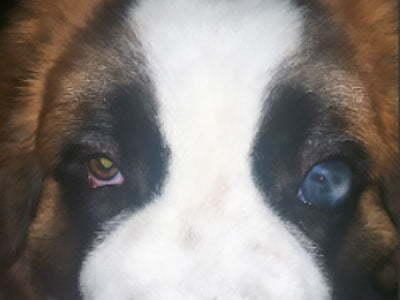 sekundarni glaukom kod psa