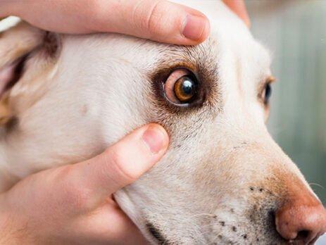 suvo oko kod psa crvenilo u ocima