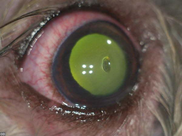 Corneal ulcer in a dog