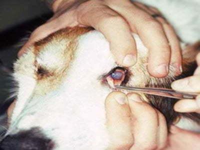 evaluacija unutrasnje strane treceg ocnog kapka