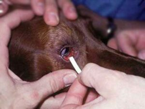 placing a sirmer test in the dog's eye