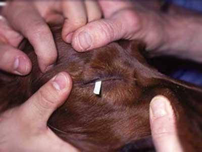 sirmer test u oku psa
