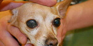 Intraokularna proteza na desnom oku kod psa