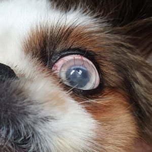 Isti pas, mesec dana posle hirurgije