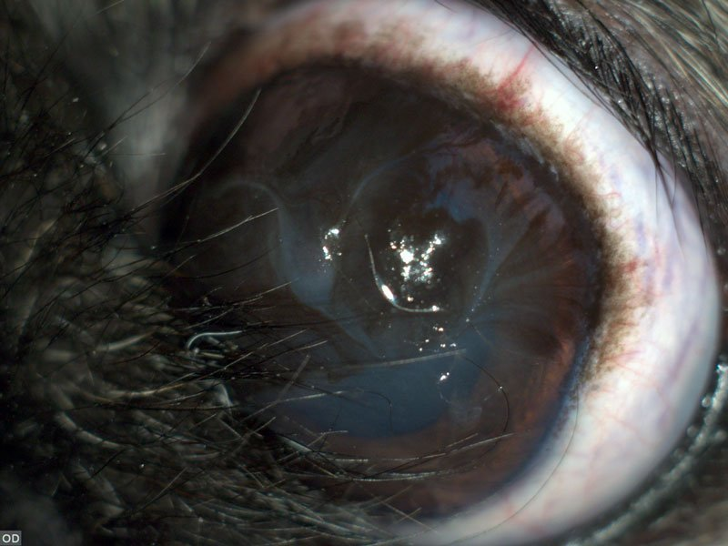 Pigmentary keratitis and trichiasis in a pug