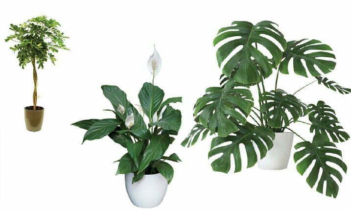 oksalatne biljke